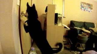 Siberian Husky Escape Artist
