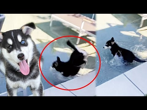 Puppy Escapes and Falls into the Pool!?