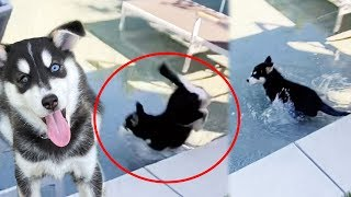 puppy-escapes-and-falls-into-the-pool