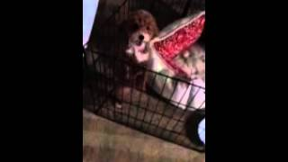Female Toy Poodle Dancing To No Music.