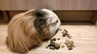 Правильное содержание морской свинки.
