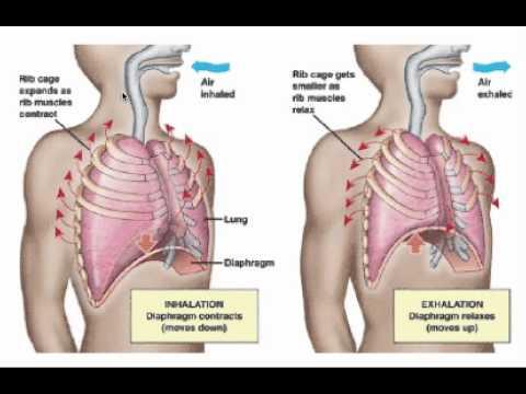 Breathing Mechanism & Gas Exchange