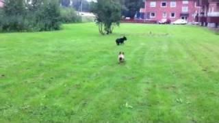 English Stafford Bullterrier & French Bulldog Fight
