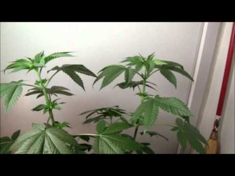 DNA's Pure Afghani~ Watching the Plants Grow~ (Part Two) Plant Sexing from Seed