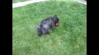 Bocce-playing Huggy Bear (scoland Terrier)