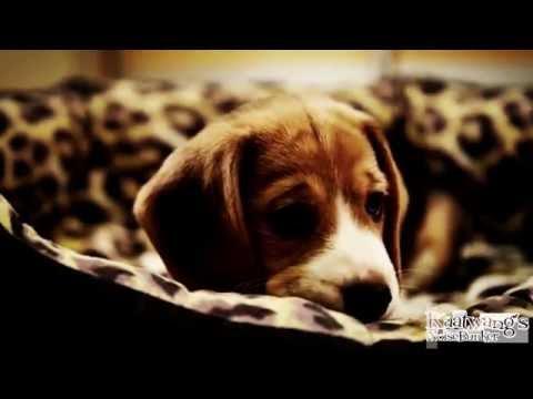 Sad Dog Diary Beagle