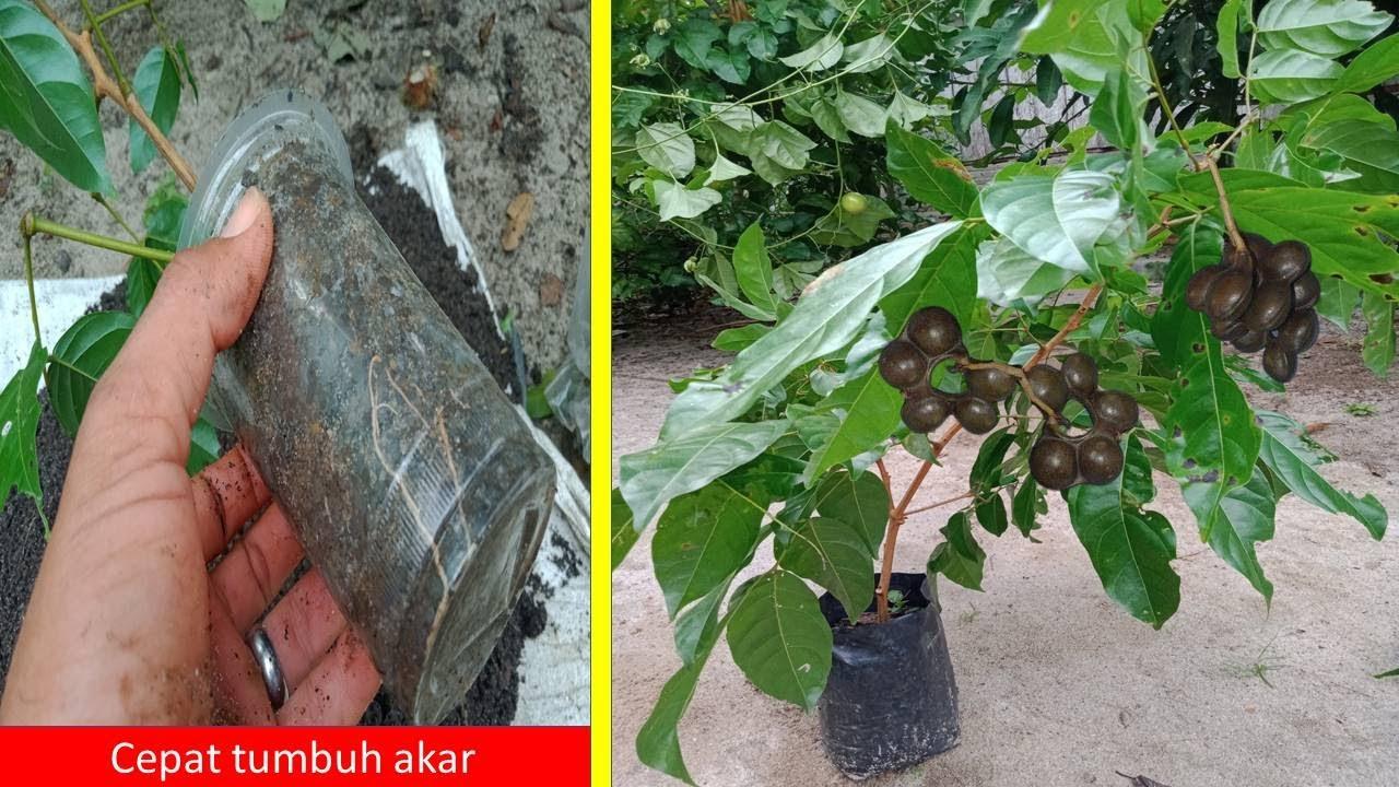 Cara Jitu Stek Pohon Jengkol Agar Cepat Berhasil Tumbuh Akar