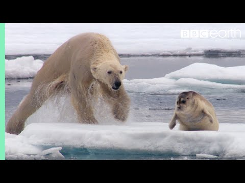 Hungry Polar Bear Ambushes Seal - The Hunt - BBC Earth