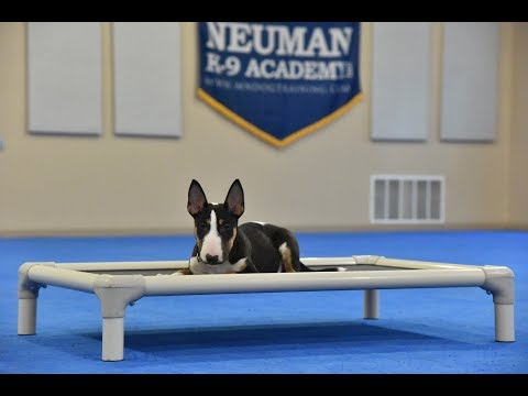 Nico (Bull Terrier) Puppy Camp Dog Training Video Demonstration
