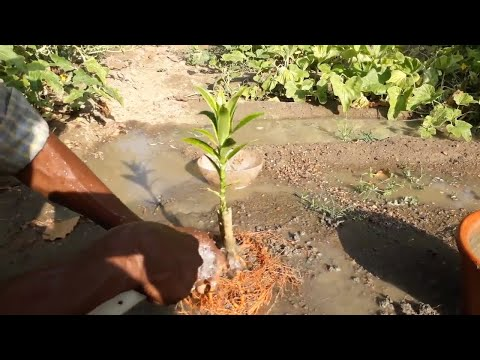 how to grow from cutting  song of India plant (Dracaena reflexa)  II care and tips II  part-2