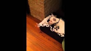 Westie Puppy Vs Yorkie