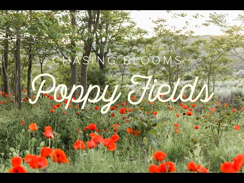 Poppy fields of Utah (with map and video!) - The House That