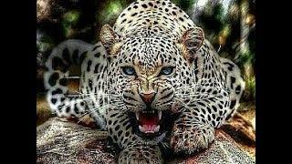 Животный мир ТРОПА ВОЙНЫ Лев Леопард Хищники Африки охота Конфликт защита территории
