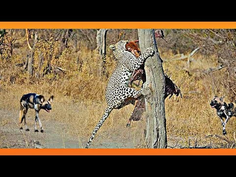 Leopard Takes On 9 Wild Dogs