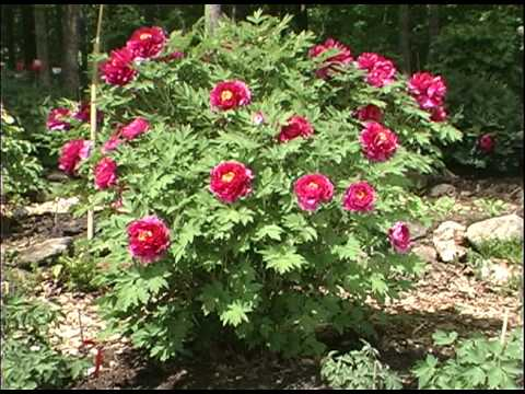 Genial Select Tree Peony Varieties Of Cricket Hill Garden