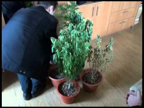 Как затираться коноплей в каком месяце сбор марихуаны