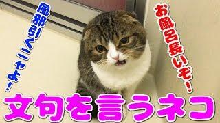 猫#子猫#cat スコティッシュフォールドの子猫。 2018年6月25日生まれの...