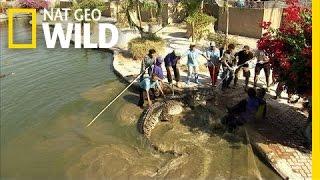 Enormous Hybrid Croc | Python Hunters