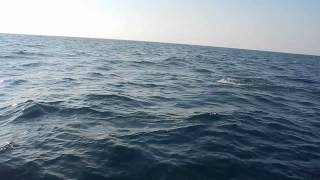 Dolphins playing in the middle of Black Sea