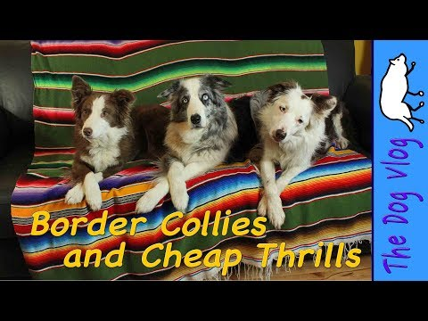Border Collie Dogs Dance to Sia's Cheap Thrills