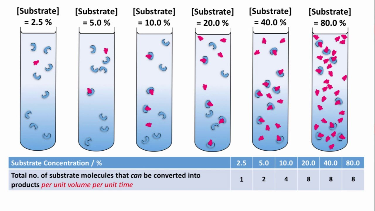 lab reports on enzyme substrate concentration Lab 11 lab 12 end-of-semester that the binding is not as tight between the enzyme and substrate is that you will vary the substrate concentration over a.