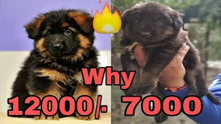 Why Same Breed Same Dog But Price Different How to check purity of Dogs //VT unlimited information