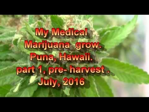 medical Marijuana grow Puna Hawaii part 1