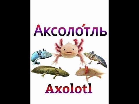 Как размножается аксолотль