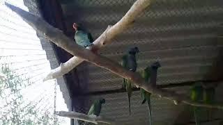 новинка нашего питомника. Китайский попугай. Первый птенец вылетел