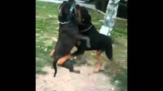 American Bully Vs Rottweiler