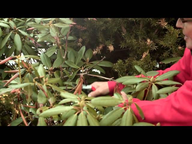 Hvordan beskjære Rhododendron
