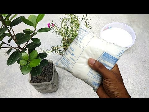 Make natural fertilizer from milk | Homemade liquid fertilizer for any plants