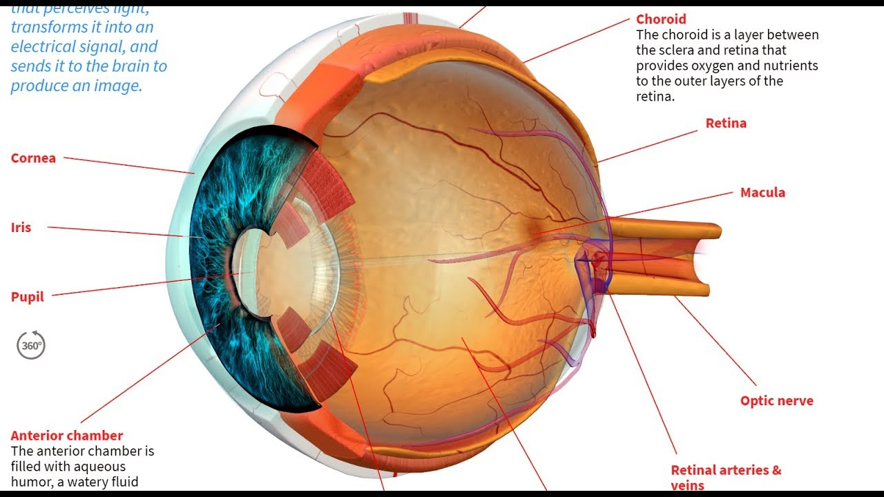 hight resolution of how the human eye works
