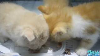 Action Cats Triplets- Kitten fighting over food
