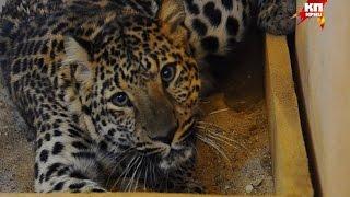 Полицейские изъяли леопарда, которого год держали в подвале жилого дома