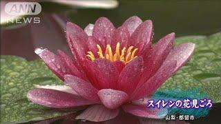 お寺の池にスイレンの花開く 夕方までが見ごろ(19/06/09)