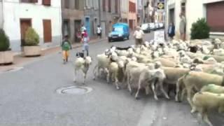 Attaque de mouton sauvage