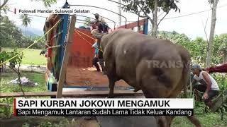 Sapi Kurban Jokowi Mengamuk | REDAKSI MALAM (27/07/20)