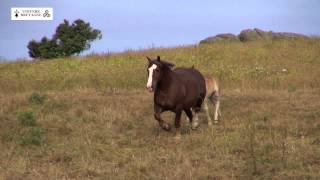 Elevage extensif sur Porspoder et Landunvez de cheval breton