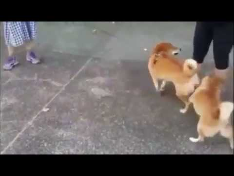Two doggos fighting with their butts! thumbnail