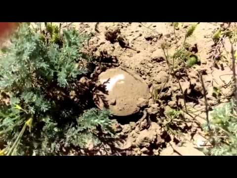 Растения степей Мангистау Зеленая степь Собираем грибы в степи