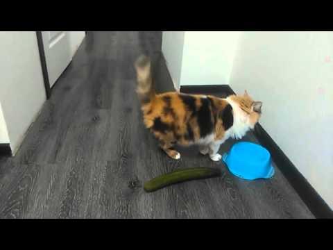 Verrückte Katzen - Gurken Compilation (Lustige Katzenvideos)