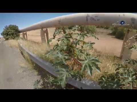 Castor Oil Plants Growing Wild In South Australia
