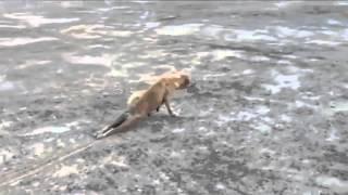 Pies udaje rannego