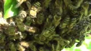 Колодное пчеловодство. прп Счастливое. Часть 1.