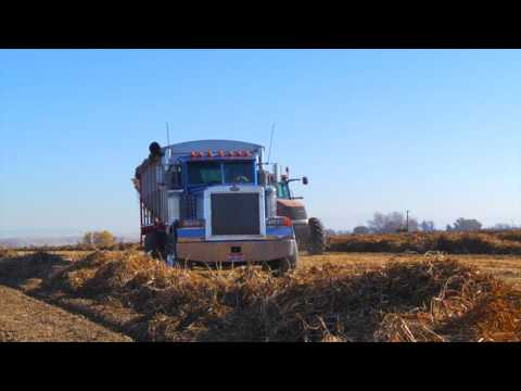 Trinity Trailers - Pinto Bean Harvest with the EagleBed
