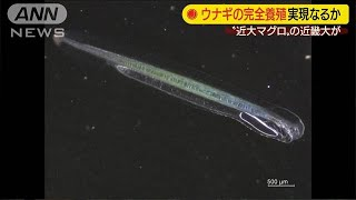 近大がウナギの人工孵化に成功 来年春には・・・(19/11/01)