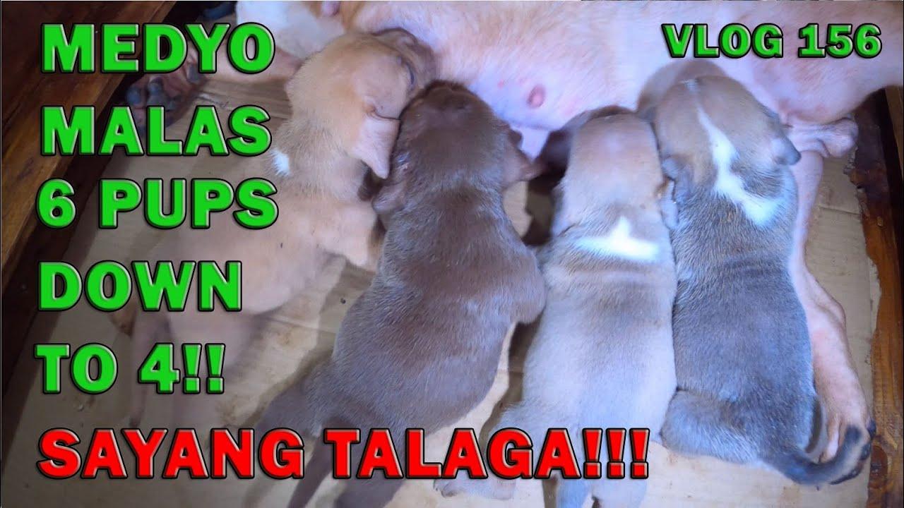 MUNTIK NA MALAGAS MGA TUTA KO SAYANG NAGIISA FEMALE PA   AMERICAN BULLY DOGS   DON RAIDER VLOG 156