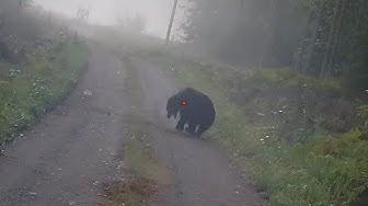 Bear hunting 2019