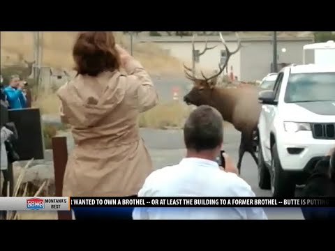 Elk attack in Yellowstone a reminder to keep safe distance, heed warnings